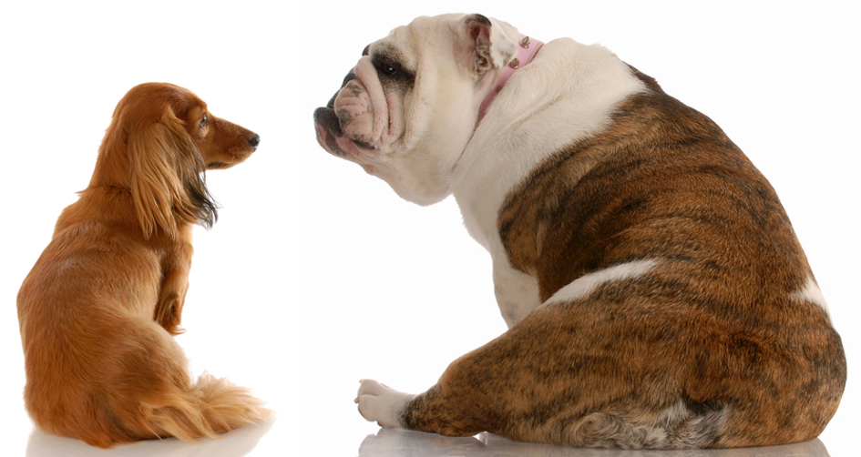 Brown and white bulldog looking at his friend a reddish brown dauchund.