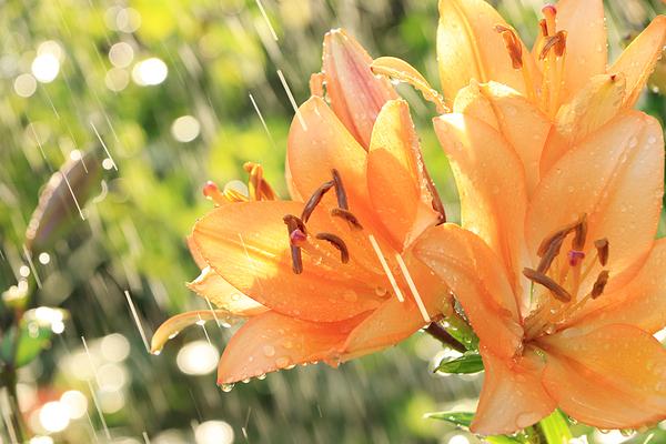 Rain on orange flowers.