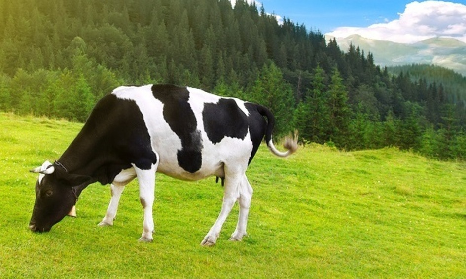Cow grazing in the grass.