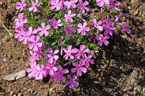 Flower garden with purple flowers.