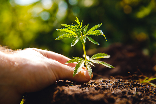 Cannabis plant.