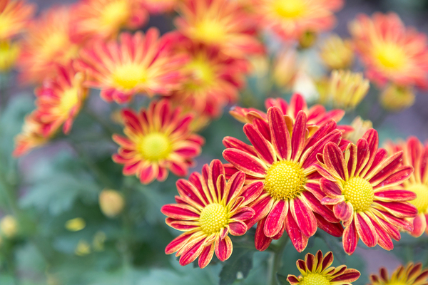 Beautiful red and yellow flowers.