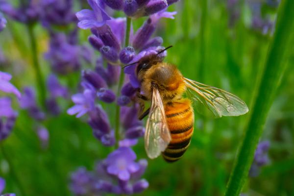 Honey bee on a purple flower.