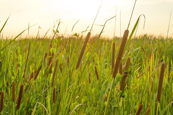 Field of tall grass.