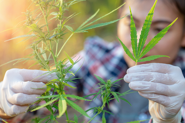 Person inspecting a cannabis plant.