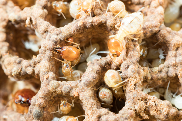 Closeup of termites.