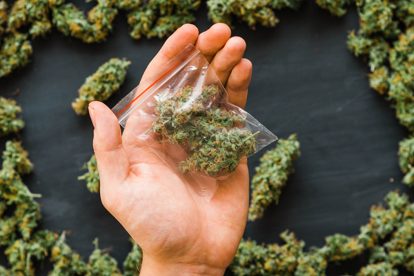 Hand with cannabis buds.