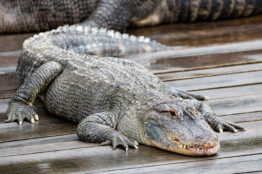 Ancient impotence creams were made of ... alligator testicles